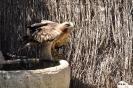 Águila Calzada Hieraaetus Pennatus