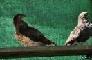 Culebrera Europea Circaetus Gallicus