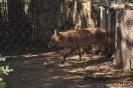 Zorro Vulpes Vulpes Animales salvajes