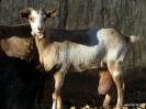 Corderos, cabras