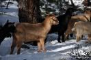 Cabras en la nieve_10