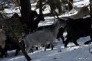 Cabras en la nieve_2