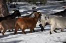 Cabras en la nieve_3
