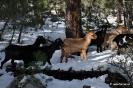 Cabras en la nieve_9