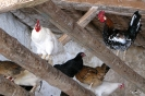Gallinas en corral