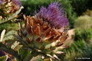 Alcachofa en Botánico de AB