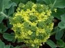 Brócoli_3