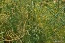 Bróculo Verde Calabrés
