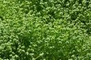 Canónigo Verde de Cambrai_2