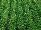 Cultivos de patata