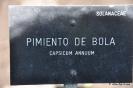 Pimiento de Bola_1