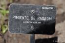 Pimiento de Padrón_1