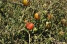 Tomates con daños de granizo