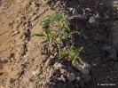 Tomates cultivos plantas