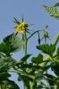 Tomates  en Botánico de CLM