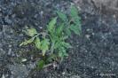 Tomates Marglobe