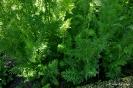 Zanahoria Urgelba_3