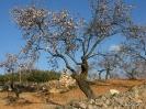 Almendros en floracion