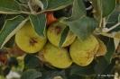 Manzano en Botánico de CLM