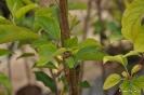 Manzanos en Vivero