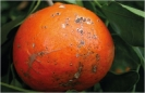 Mancha marrón de mandarinas