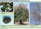 Antracnosis o aceituna jabonosa - Colletotrichum_2
