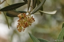 Flor de Olivos