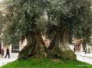 Olivo centenario