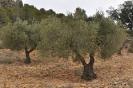 Olivos en campos de olivares