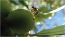 Mosca del olivo 1