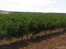 Viñas y Viñedos_3