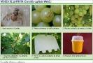 Mosca de la fruta en Vid 2