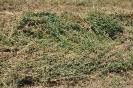 Alfalfa segada_1