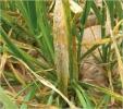 Oídio de los cereales - 1