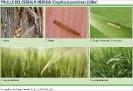 Polilla del cereal o Nefasia - 2