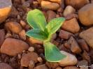 Girasol plantas