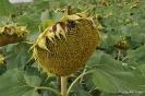 Girasoles sin las flore