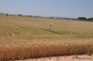 Campo de trigo_1