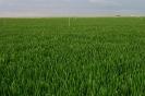 Cultivo de trigo