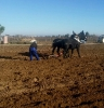 Sembrando con mulas