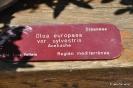 Acebuche Olea Europea Sysvestris
