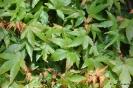 Acer Palmatum Kahima