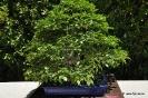 Bonsai Carpinus Turczaninovii
