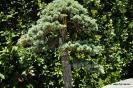 Bonsai Cedro del Atlas Cedrus Atlántica