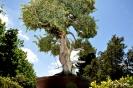Bonsai Juniperus Rígida