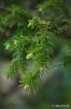 Bonsai Picea Glehnii