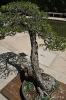 Bonsái Pino Albar Pinus Sylvestris