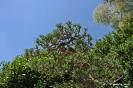 Bonsái Pino Negro Pinus Uncinata