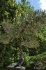 Bonsái Pinus Densiflora