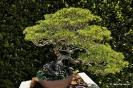 Bonsái Pinus Parviflora